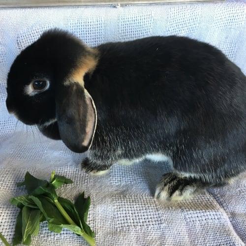 Pixie -  Rabbit