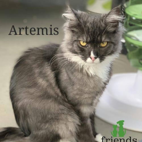 Artemis - Domestic Medium Hair Cat