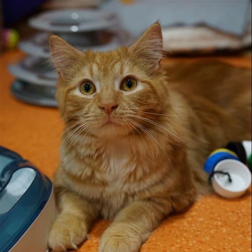 Leopold - Domestic Long Hair Cat