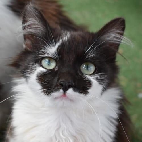 Aztec - Domestic Medium Hair Cat