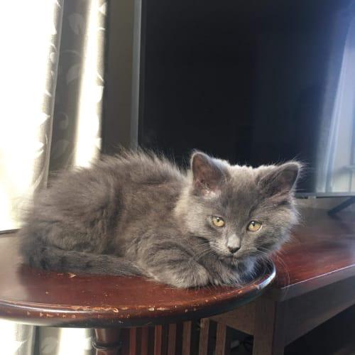 Izzy - Domestic Medium Hair Cat