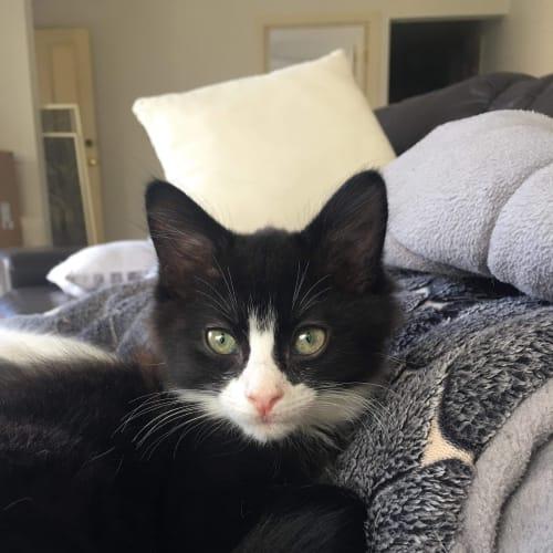 Layla - Domestic Medium Hair Cat