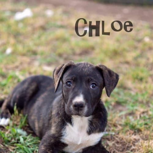 Chloe - Bull Arab Dog