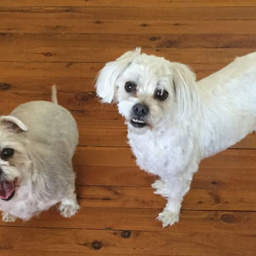 Coco and Tiddles - Maltese x Shih Tzu Dog