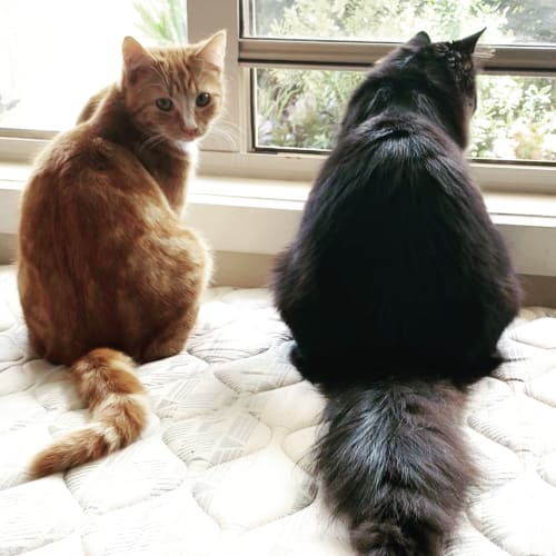 Casper & Colby  - Domestic Medium Hair Cat