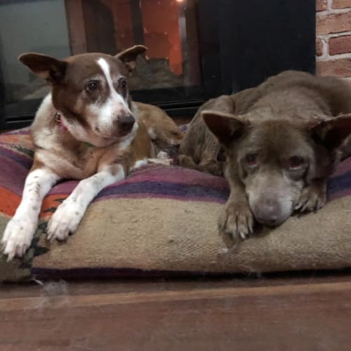 Misty and Kay - Kelpie x Australian Stumpy Tail Cattle Dog