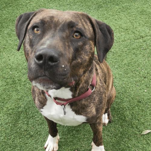 Lockey - American Staffi Dog