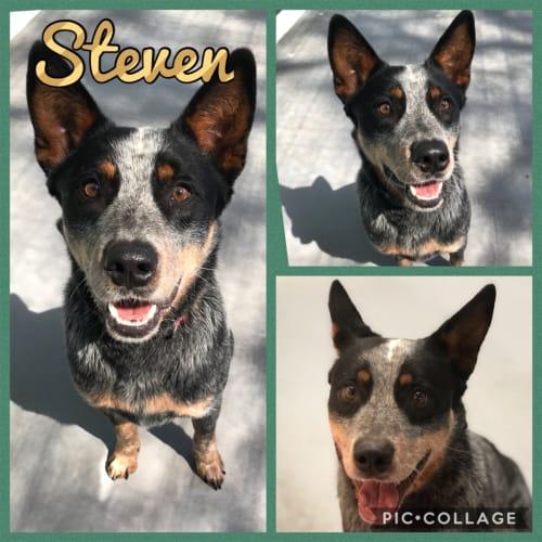 Steven - Australian Cattledog
