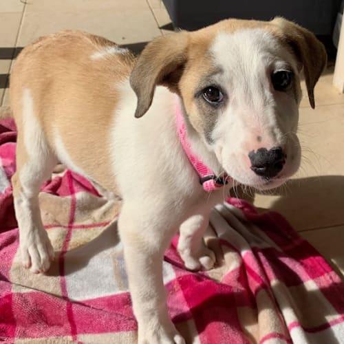 Beckie - Mixed Breed Dog