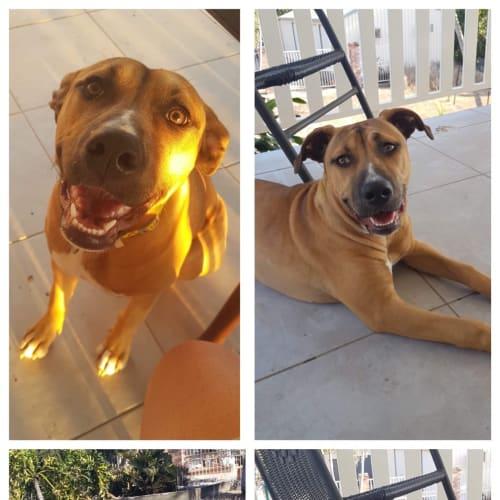 Nahli  - Staffy Dog