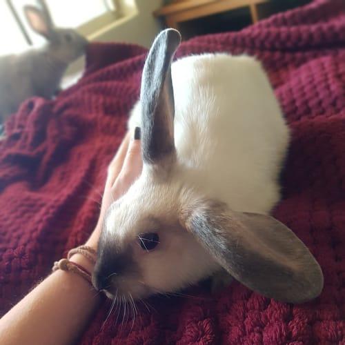 Chai - Domestic Rabbit