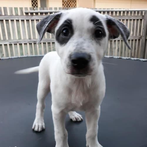 Ohana - Kelpie Dog