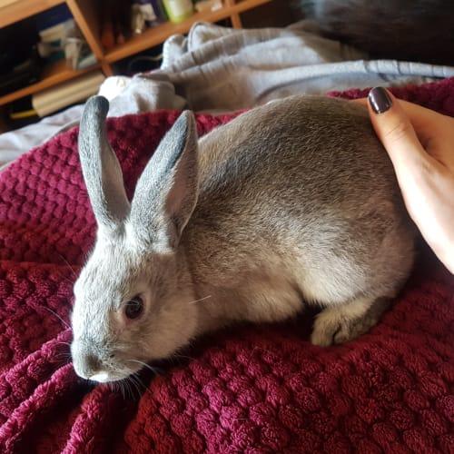 Smudge - Domestic Rabbit
