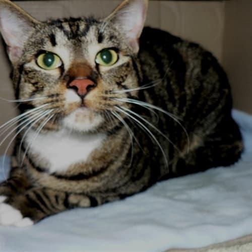 Edgar - Bengal x Siamese Cat