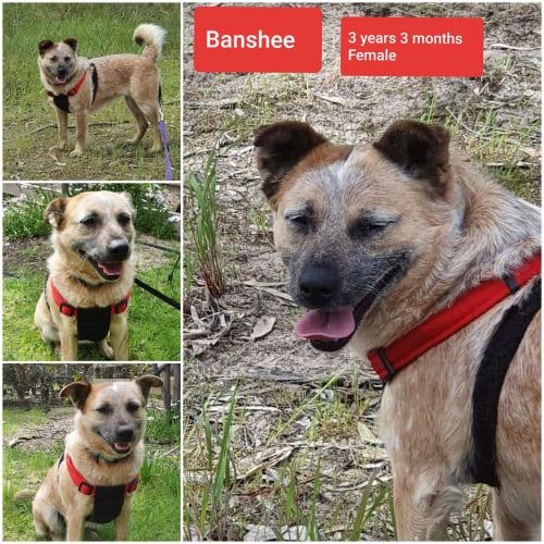 Banshee - Red Heeler x Jack Russell Terrier Dog