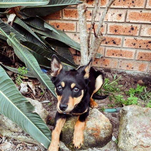 Abbie ~ happy Kelpie puppy - Kelpie Dog