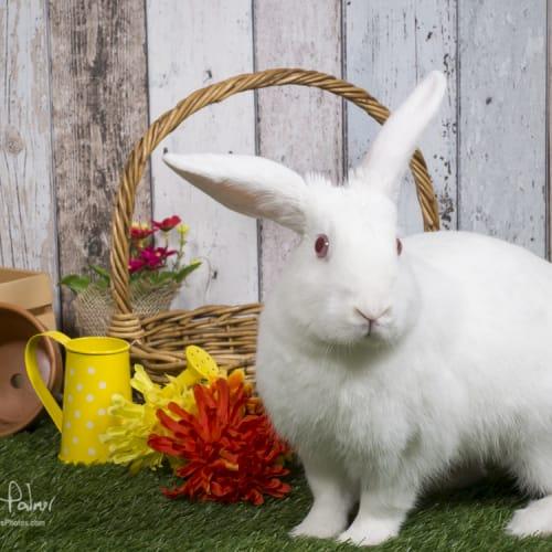 Buster - New Zealand White Rabbit