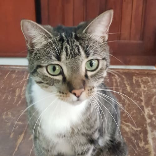 Rebecca - Domestic Short Hair Cat