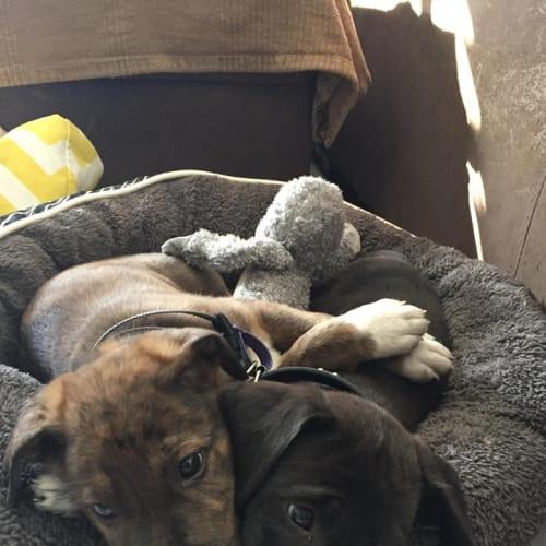 Wilder - Catahoula x Irish Wolfhound Dog