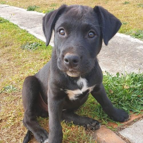 Wilson - Catahoula x Irish Wolfhound Dog