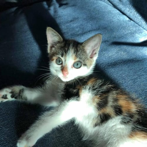 Blythe - Domestic Short Hair Cat