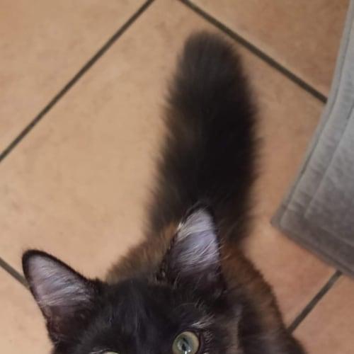 Blinkin - Domestic Medium Hair Cat
