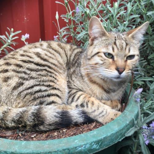 Bronze  - Bengal x Domestic Short Hair Cat