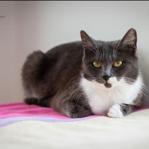 1345 - Beatrice - Domestic Short Hair Cat