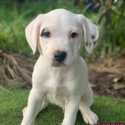 Lennon - Bull Arab Dog