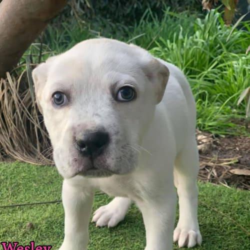 Wesley - Bull Arab Dog