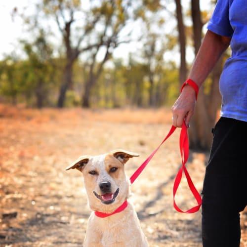 Georgie - Australian Cattle Dog