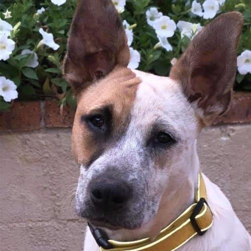 Annie - Australian Cattle Dog x Bull Arab Dog