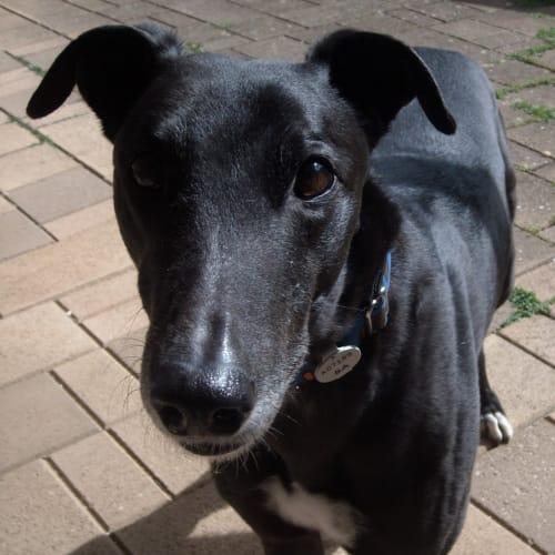 Luke - Greyhound Dog