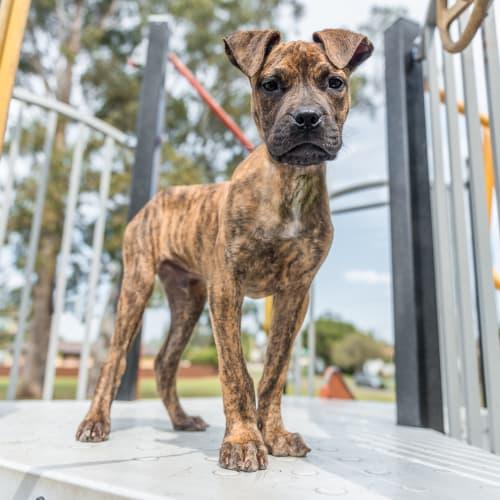 Kurus - Mixed Breed Dog