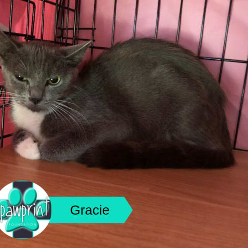 Gracie - Domestic Short Hair Cat