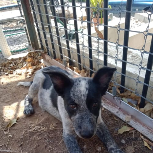 Willow - Cattle Dog