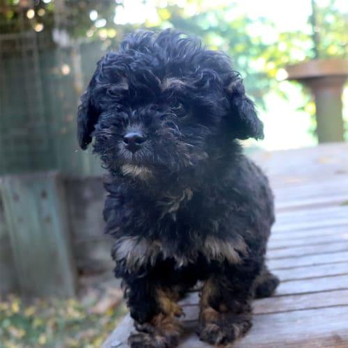 Java - Poodle Dog