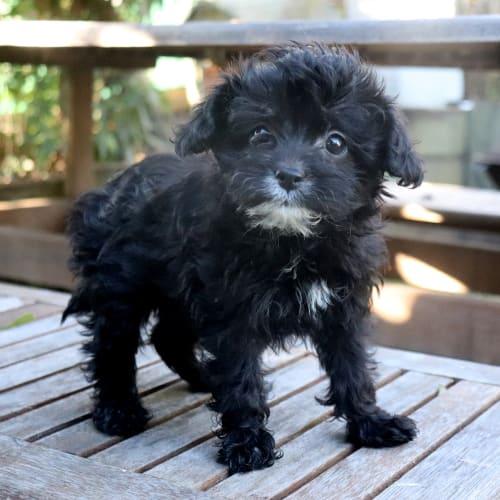 Kona - Poodle Dog