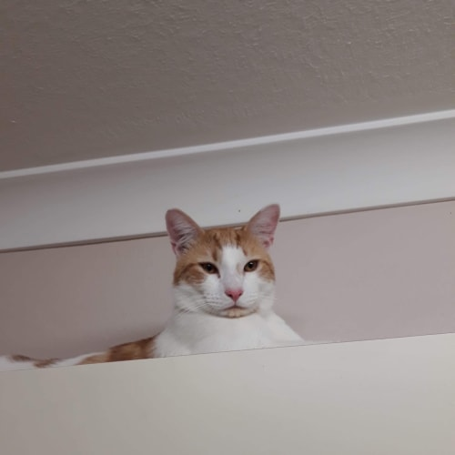 Tiny - Domestic Short Hair Cat