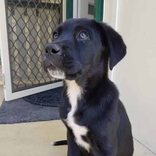 Jocko - Border Collie x Neapolitan Mastiff Dog