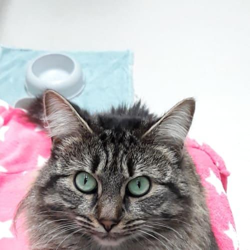 Banner - Domestic Medium Hair Cat