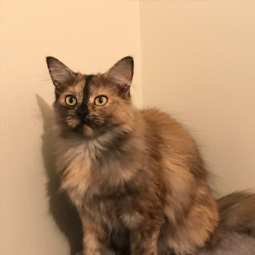 Buttercup - Domestic Medium Hair Cat