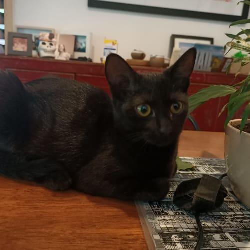 Dora - Domestic Short Hair Cat