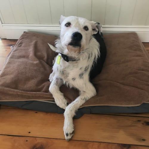 Lucy - Wolfhound Dog