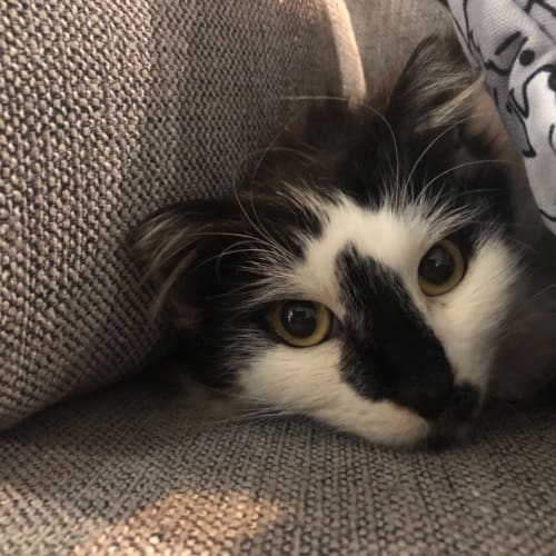Sambora -  Meet me in Cat Lounge/Neko HQ Preston - Domestic Medium Hair Cat