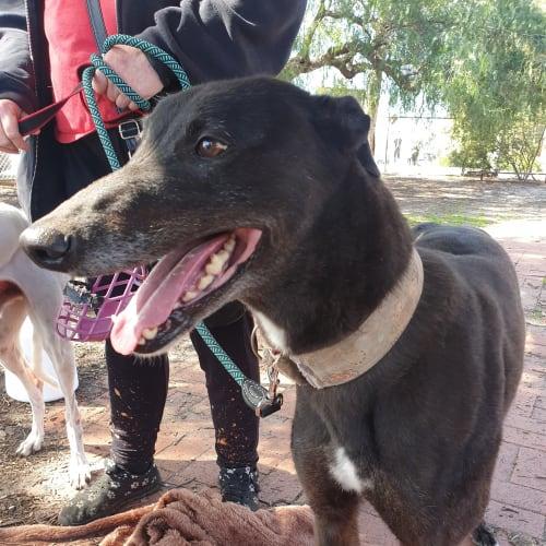 Leo.    Melbourne - Greyhound Dog