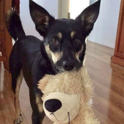 Stella - Assisted Rehome - Kelpie x Border Collie Dog