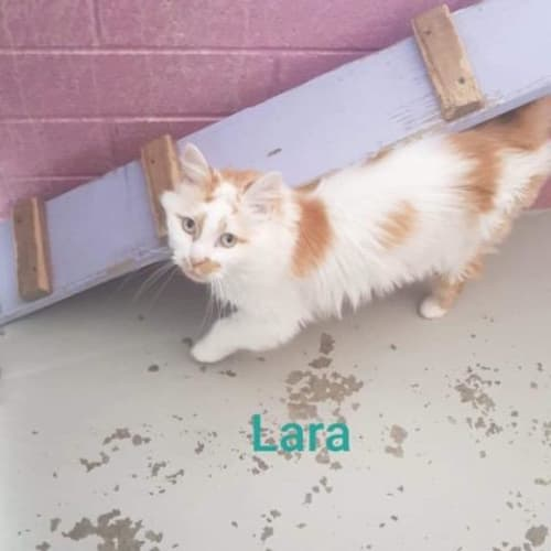 Lara - Turkish Van Cat