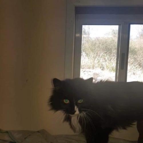 Jellybean - Domestic Long Hair Cat