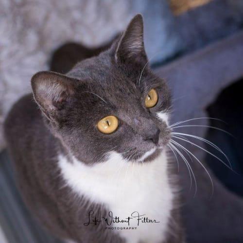 Kamiya - Domestic Short Hair Cat